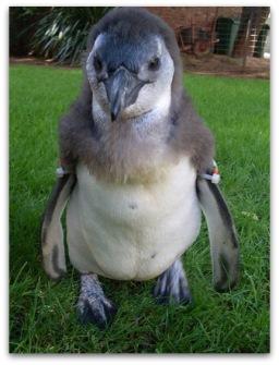 1-penguins